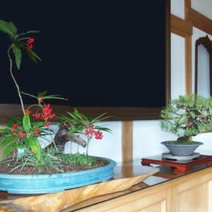菩提寺の玄関へ(83)お正月飾り 黒松とカラタチバナ(2015/12/24アップ済み)