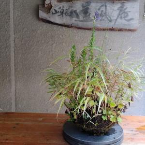寄せ植え根洗い(2)フウチソウ・サワギキョウ・アワモリショウマ・ダイモンジソウ・ノギク