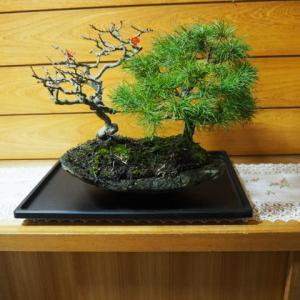 寄せ植え(3) 五葉松・四季咲き長寿バイ・コグマザサ 剪定です