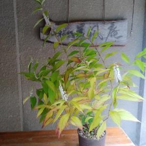 シモバシラ 咲いてます