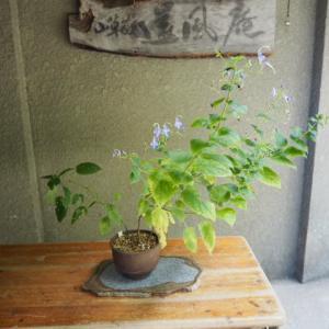 カリガネソウ(雁金草) 開花しています。