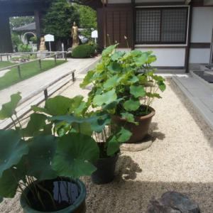 菩提寺の玄関へ(97)境内の30鉢近くの蓮の花が (2016/7/12アップ済み)