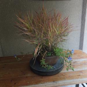寄せ植え ススキとキリシマリンドウ 3鉢