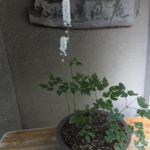 サラシナショウマ 少し咲く
