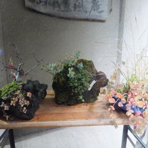 ミセバヤ 冬支度(その一) 石付けと寄せ植え