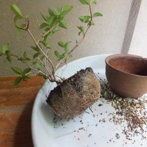 タニウツギ(A) 植え替え