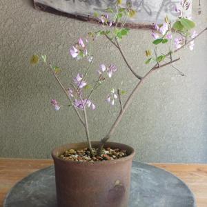 雲南ハギ 開花です