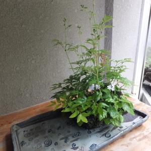 寄せ植え/根洗い(18号)ヤシャゼンマイ・イワチドリ・アワモリショウマ・ヒトツバショウマ