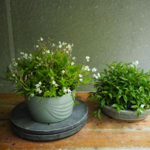 ヒメウツギ 二鉢開花