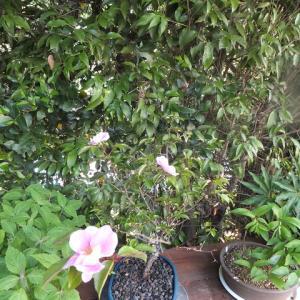 ハトヤバラ 開花