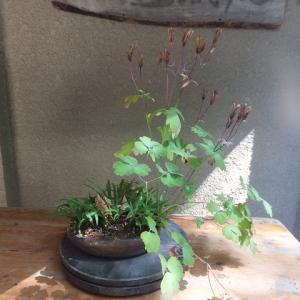 ミヤマオダマキ 採種と種蒔き