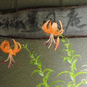 ナンキンアヤメ、対馬産オニユリ(無黒点)、ネジバナ  鉢の掃除