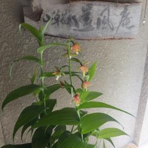 カキラン よく咲ています
