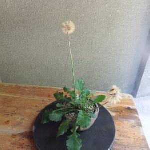 センボンヤリ 採種/採り蒔き