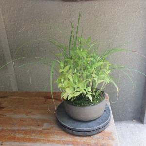 寄せ植え(60号)ヒメ矢羽ススキ・白花ホトトギス・ナンバンギセル
