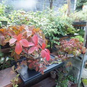 中国オオバズタ 紅葉です
