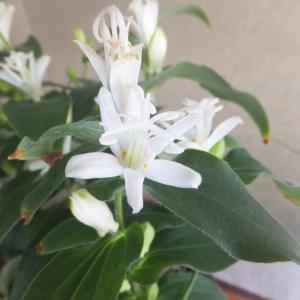 白花ホトトギス よく咲いています