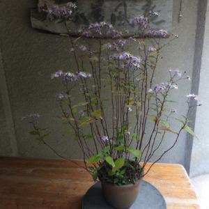 キヨスミシラヤマギク 咲き始めました