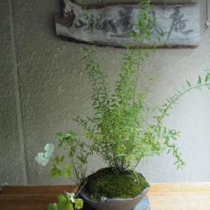 ユキヤナギ&ミヤマオダマキ   剪定と掃除