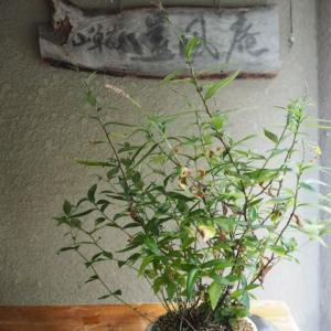 寄せ植え(ナンテンハギ、イヌ蓼、ミヤコワスレ)
