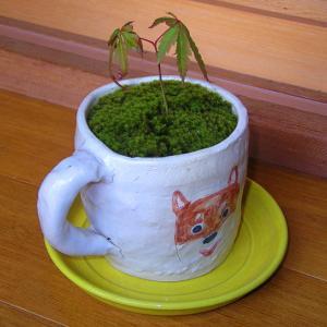 雑感1(苔やその他、我が家に棲息する植物等を中心にUP)