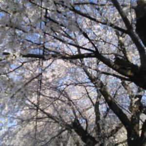 まだ桜は八分咲きでしょうか