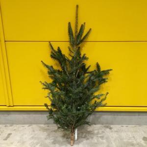 今年もIKEAで「本物のモミの木」を買ってきました