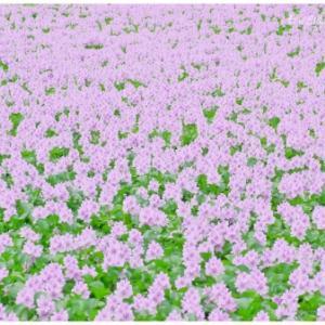 布袋葵 Part.2