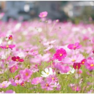 秋桜 Part.3
