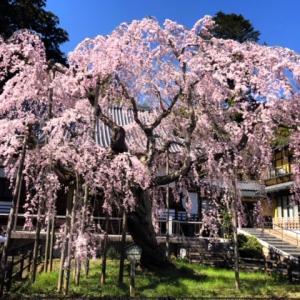 しだれ桜^^