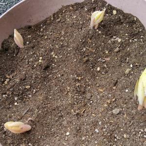 カサブランカ植える。