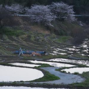 20210324 桜咲くせんがまち棚田 2