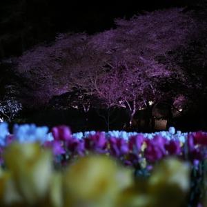 夜桜とチューリップの競演 1