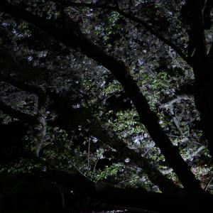 20210402 夜桜とチューリップの競演 2