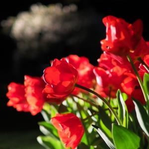 20210402 夜桜とチューリップの競演 3
