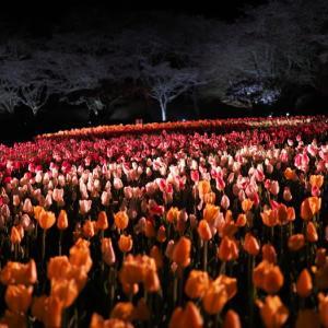 20210402 夜桜とチューリップの競演 4