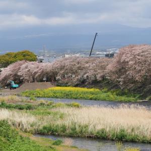 20210403 岳南鉄道と龍巌橋の桜 1