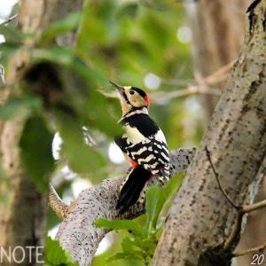 公園のアカゲラ、涸沼の猛禽類たち