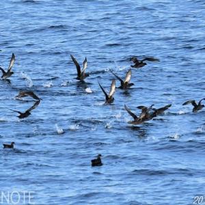 10月の大洗苫小牧航路(2)ハイイロミズナギドリ