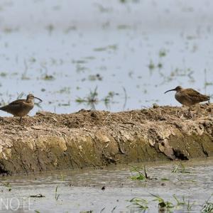 涸沼のチュウシャクシギ、ムナグロ