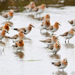 トウネンの夏羽の群れ