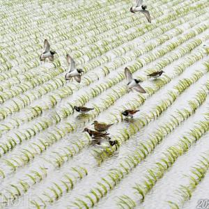 稲敷で最後の最後にシギチの群れ
