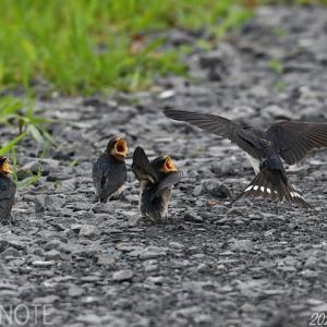 涸沼一周~ツバメ、コチドリ、アマサギ