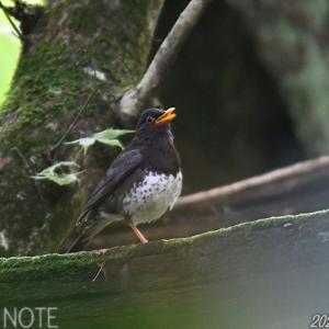 栃木の森にて(2)~クロツグミの親子