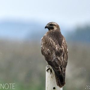 雨の涸沼の猛禽類
