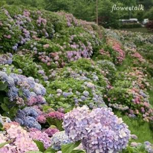 紫陽花が満開  しらとりの郷