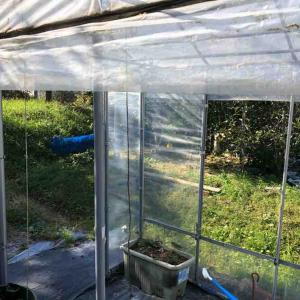 温室の窓を閉めてトマトを保護