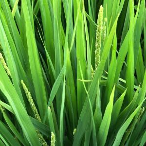 稲の出穂とスズメの威し