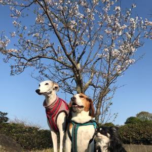 ワンズと桜と青空と。