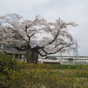 ♡桜満開♡
